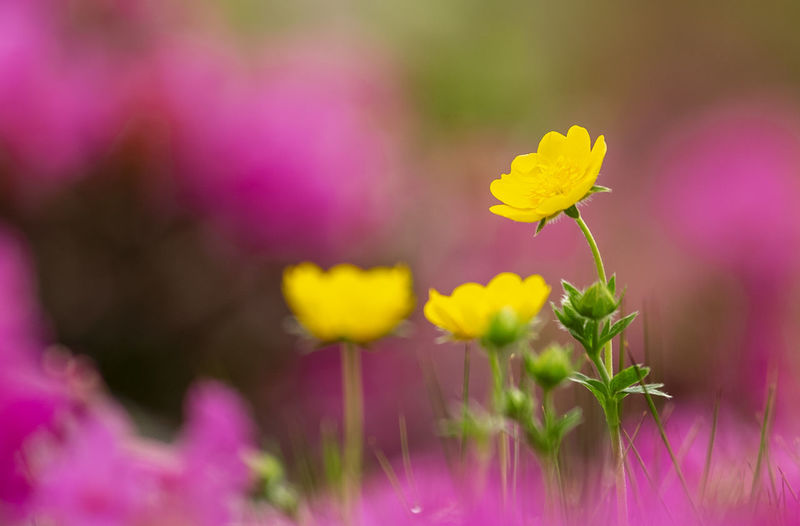 Beauty In Nature Close-up Day Field Flower Flower Head Flowering Plant Fragility Freshness Growth Inflorescence Nature No People Outdoors Petal Pink Color Plant Purple Selective Focus Springtime Vulnerability  Yellow