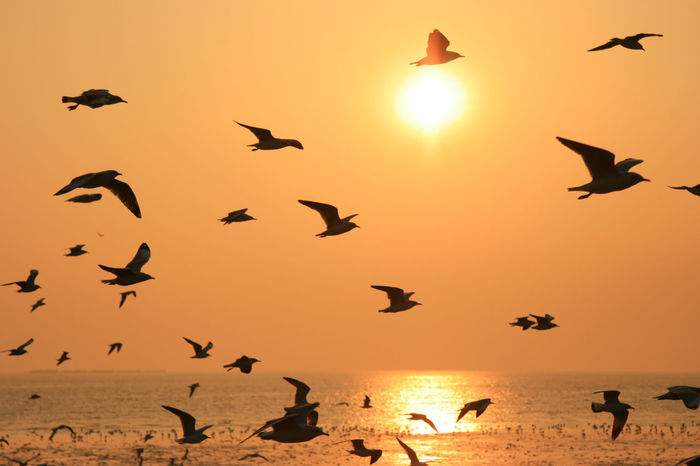 Flying silhouette seagull bird on the sunset Nature Orange Seagulls Silhouette Thailand Air Animal Animal Wildlife Bangpu Beach Beauty In Nature Bird Birds Flying Nature Nature Background Ocean Orange Color Outdoors Sea Life Seagull Silhouette Sky Sunset
