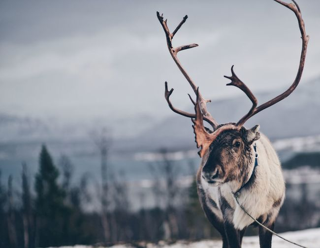 Reindeer outdoors in norway