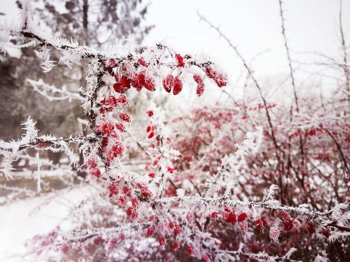 Winter Frozen Nature Frost Redberries Red White Shrubs Winterplants