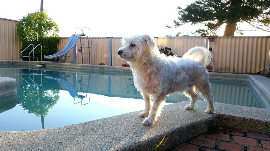 Dog Maltese Dog Maltese, Puppy,