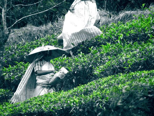 Tea Estate The Portraitist - 2017 EyeEm Awards The Week On EyeEm Green Color Growth Nature People Working Hard Plant Poor People