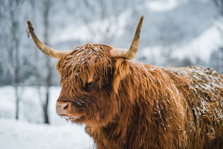 Galloway cattle or scottish highland cattle in snow covered landscape.