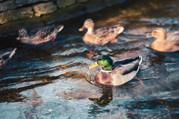 High angle view of ducks swimming in lake