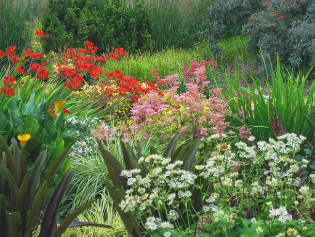 Pacific Northwest Garden in July Astrantia Calla Lily Summertime Assortment Blossoms  Colorful Crocosmia Flowerbed Flowering Plant Garden Grasses Greenery Multi Colored Nature No People Ornamental Garden Outdoors Park Red Redleaf Summer