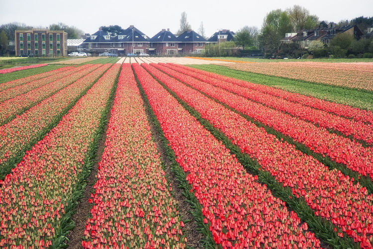 Plant Agriculture Field Growth Rural Scene Nature Flower Land Landscape Farm Flowering Plant Sky Day Freshness Beauty In Nature Environment Red In A Row No People Tranquil Scene Outdoors Flowerbed