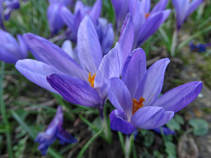 Blue flowers close-up. Flower Flowering Plant Beauty In Nature Vulnerability  Freshness Petal Fragility Plant Growth Close-up Purple Crocus Flower Head Inflorescence Iris Nature Day No People Land Field Pollen Springtime Flowers Plants Beauty In Nature Nature Photography