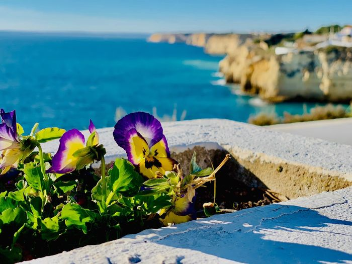 Carvoeiro Iphone Xs Water Beauty In Nature Nature Sea Plant Flower Sunlight Day Flowering Plant No People Freshness Outdoors Purple Scenics - Nature Tranquility Tranquil Scene