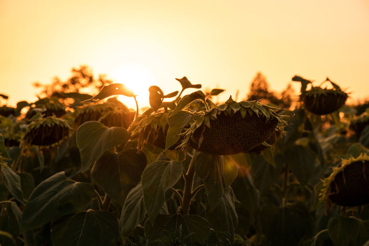 Sunflower fields during sunset. Sunflower fields in warm evening light. Dried sunflowers. Agriculture Autumn Autumn Colors Farm Field Green Color Growth Light Nature Plant Seed Sunflower Backgrounds Blooming Blossom Flower Harvest Orange Color Organic Food Petal Sun Sunflowers Field Sunflowers🌻 Sunset Wilted Plant