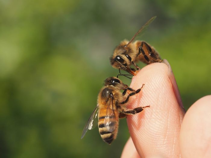 Close-up of bees on hand
