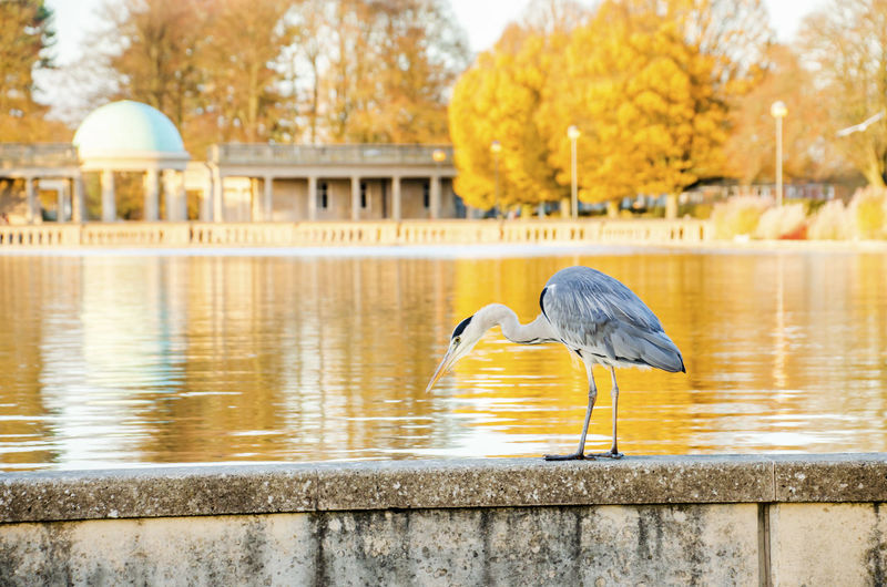 Autumn Autumn colors Bird Nature Animal Themes Day One Animal Focus On Foreground Park Architecture Uk England Norwich Eaton Animals In The Wild Animal No People Building Exterior Tree Water Pond Selective Focus Heron Heron Bird Animal Wildlife Outdoors Autumn Mood