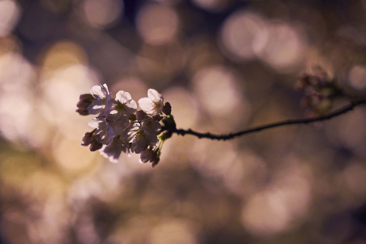 Cherry Blossom Cherry Blossoms Night Lights Night Photography Nightphotography Beauty In Nature Branch Cherryblossom Cherryblossoms Close-up Flower Flower Head Focus On Foreground Fragility Freshness Growth Nature Night Night View Nightshot No People Outdoors Plant