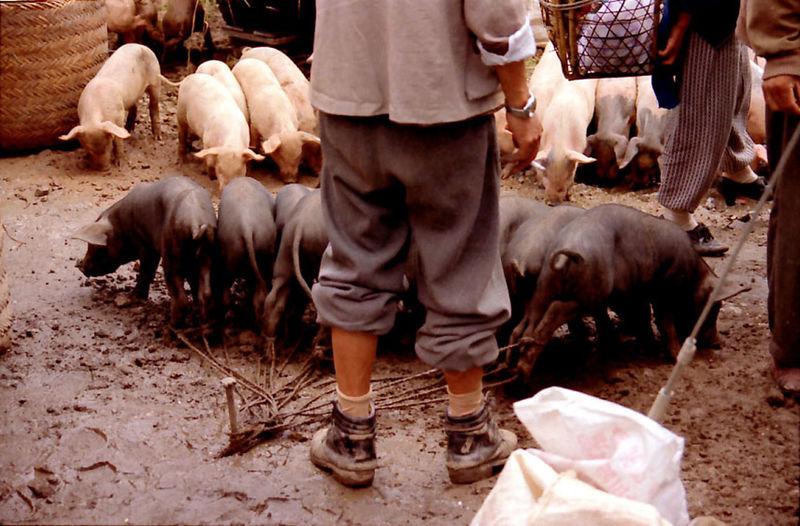 Man Standing Near Group Of Black Piglets