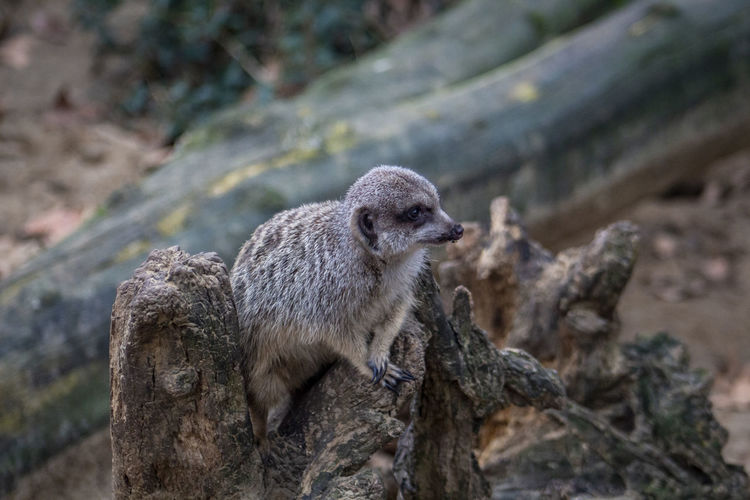 One Animal Animal Wildlife No People Day Nature Close-up Animal Animal Themes Mammal Focus On Foreground Looking Tree Rock Looking Away Vertebrate Outdoors Land Rock - Object Meerkat Zoo Zoology Zoo Animals  Zoophotography Trunk Observing