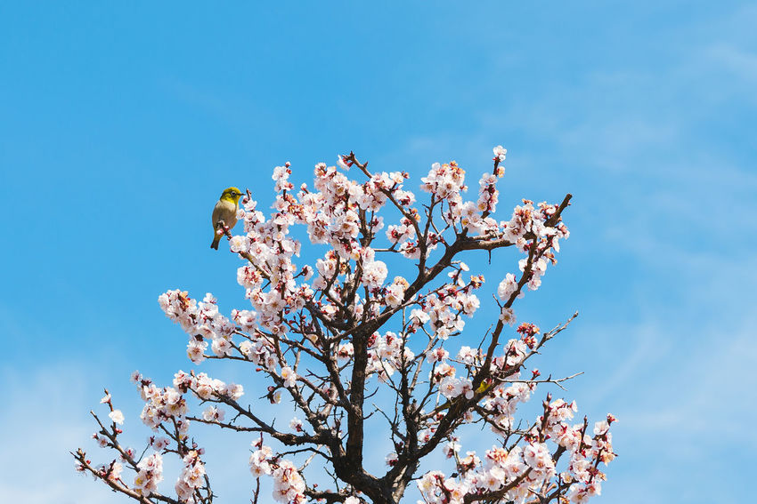 The Little Green Bird (Mejiro) Animal Themes Animals In The Wild Beauty In Nature Bird Blooming Blossom Blue Branch Clear Sky Day Flower Flower Head Fragility Freshness Growth Low Angle View Nature No People One Animal Outdoors Perching Petal Sky Springtime Tree