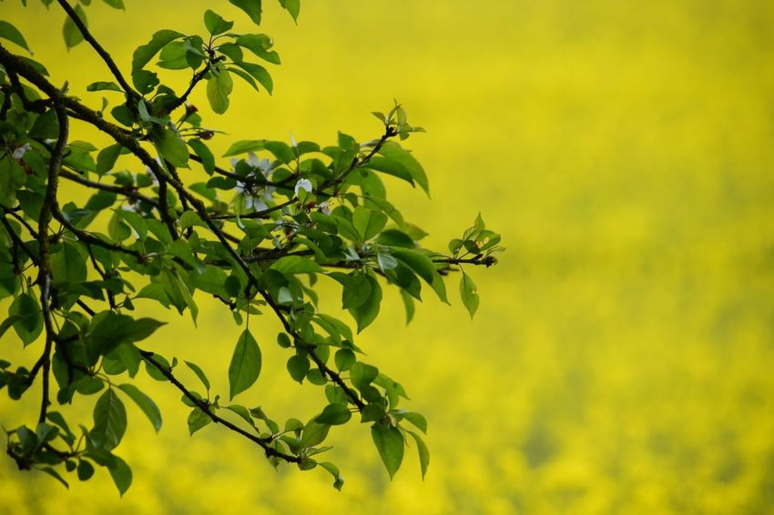 Blossom Tree Rapeseed Field Wiltshire Farmland Plant Leaf Growth Plant Part Green Color Beauty In Nature Nature Tranquility Branch Outdoors Tree Yellow Leaves