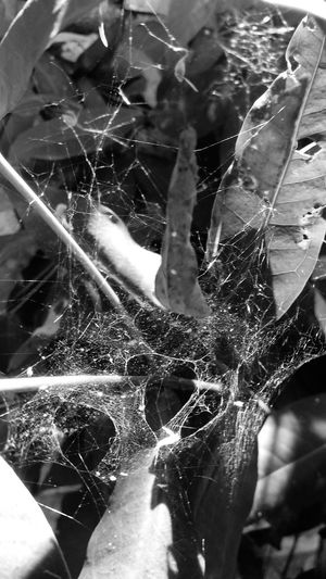 spider web Web Spider Insect Black And White Leaf Close-up Spider Web Arachnid