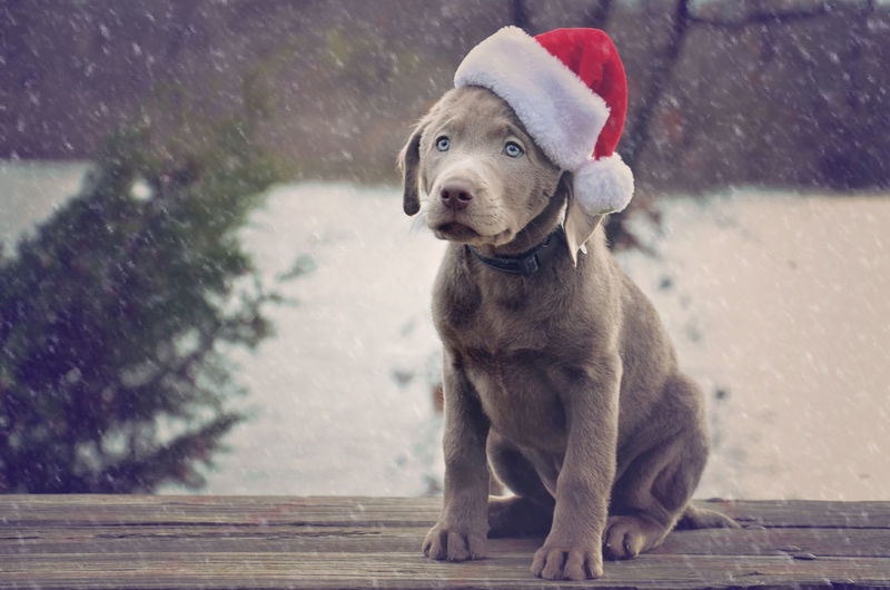 Animal Animal Themes Christmas Domestic Animals Outdoors Pets Puppy Winter