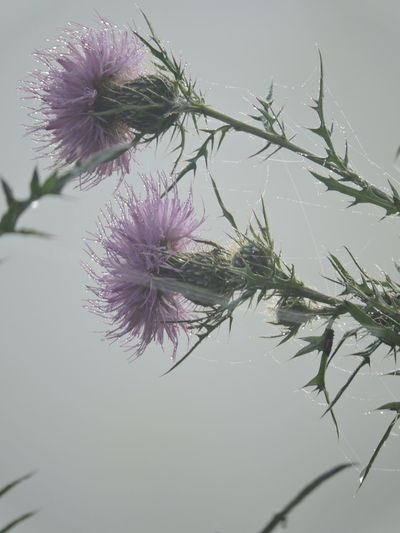 Beauty In Nature Blooming Close-up Day Flower Flower Head Fragility Freshness Growth Nature No People Outdoors Petal Plant Sky Spider Web, Dew, Morning, Thistle Flowers Water