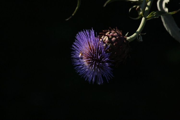 Beauty In Nature Bee Blue Cardoon Celebration Close-up Dark Entertainment Exploding Firework Firework Display Glowing Growth Illuminated Light Multi Colored Nature Night No People Outdoors Sky Sparks