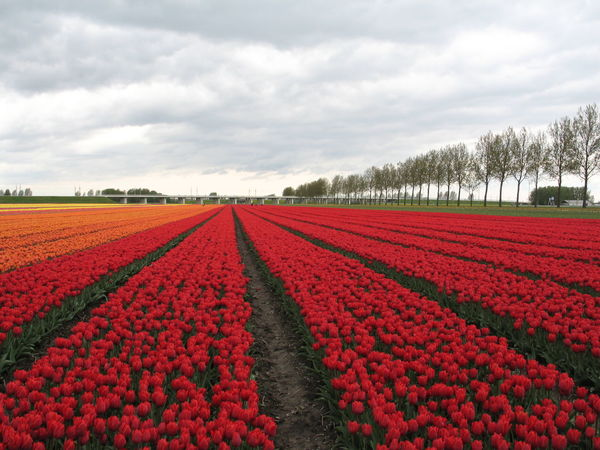 Amsterdam Dutch Countyside In Line National Pride Netherlands The Netherlands Tulips Agriculture Attraction Bulbs Dutch Landscape Field Freshness Geometry Glorious Holland Red Carpet Rows Spring Springtime Straight Forward Touristtrap Tranquility Tulip Tulipfields