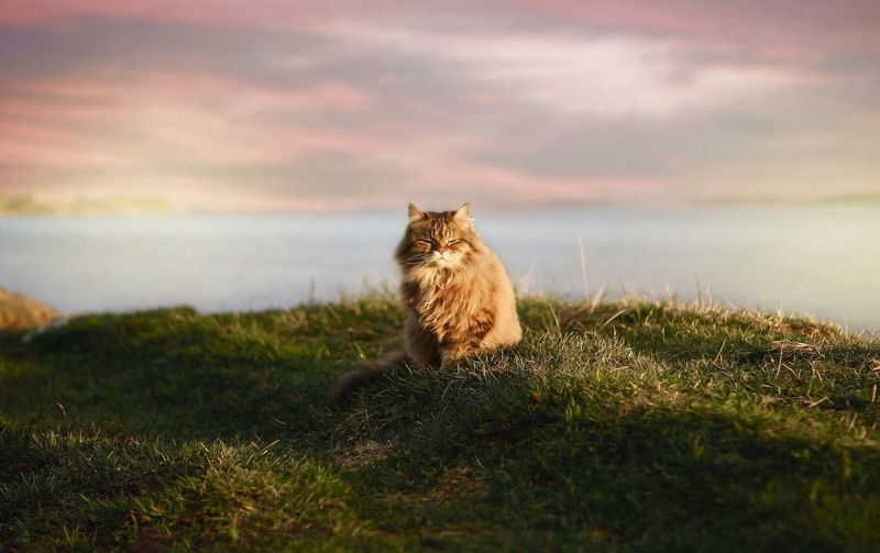 Cat on grassy field against sky during sunset