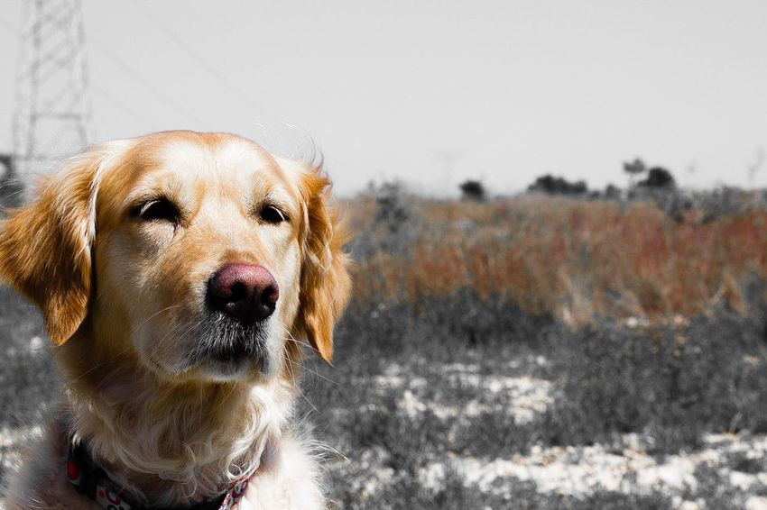 guapa Dog One Animal Day Field Sky Animal Love Bellezza Life Primavera Spring Happiness Amore Golden Golden Retriever SPAIN València Nature Lovely Animals Springtime Beautiful Felicità Cane Il Mio Cane