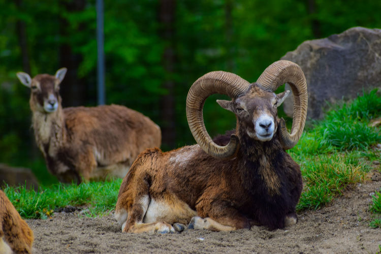 Portrait of bighorn sheep relaxing in forest