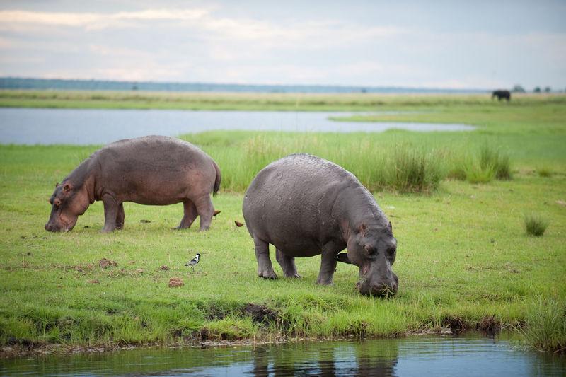 Hippopotamuses feeding near water
