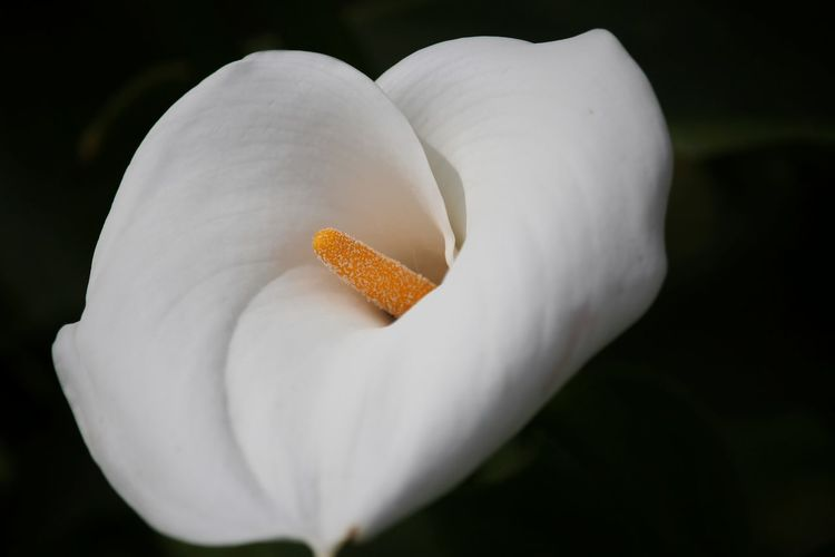 Close-up of calla lily blooming outdoors