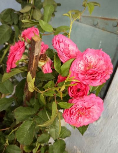 roses Three Roses Flower Pink Color Rose - Flower Plant Beauty In Nature Freshness Nature