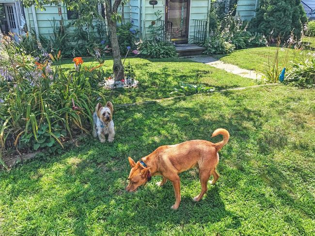 Awwww Knox made a friend... Animal Themes Grass Mammal Domestic Animals Dog Pets Plant Green Color Outdoors No People Day Nature Architecture Building Exterior