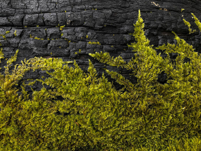 moss over burned wood Plant Growth No People Full Frame Nature Day Outdoors Moss Wood Burning Fire Burned Forest Green Blackandwhite