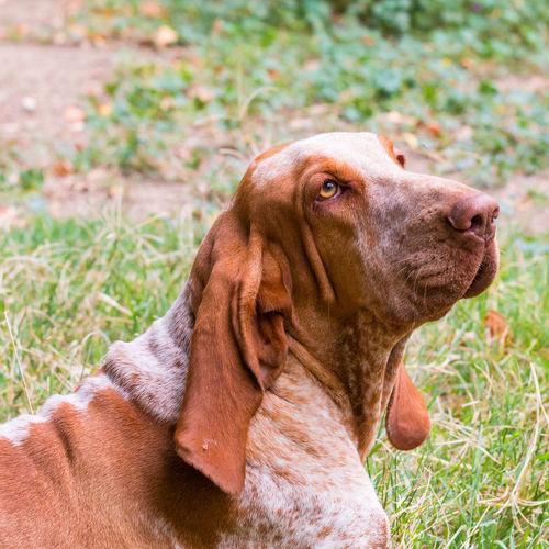 A Bracco Italiano portrait, an Italian hunting dog Intelligent Animal Brown Canine Close-up Companion Dog Domestic Hunt Hunting Italian Outdoors Pedigree Pets Purebred White