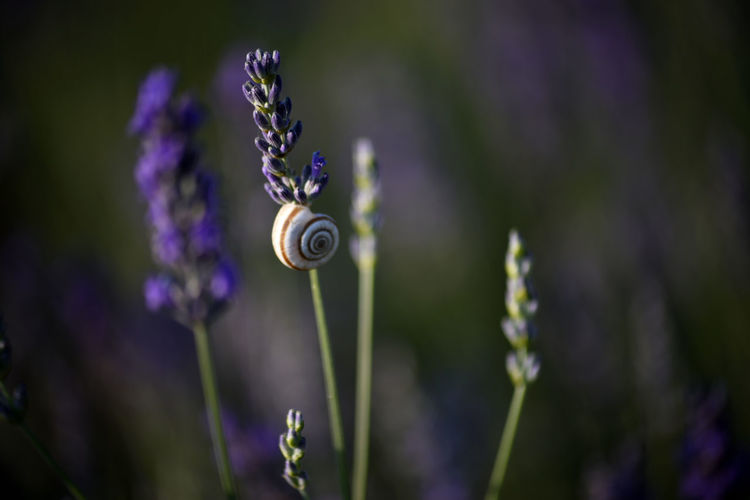 Close-up of snail on purple flowering plant