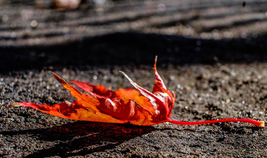 autumn leave Autumn Colors Autumn Leaves Animal Themes Autumn Beauty In Nature Change Close-up Day Fragility Leaf Nature No People Orange Color Outdoors Red Seasons Seasons Greetings Seasonschange Seasonscollection EyeEmNewHere