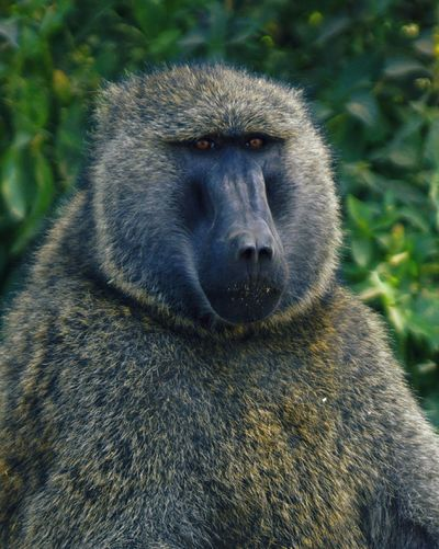 A wild male baboon looks out into the distance, lake nakuru national park, kenya