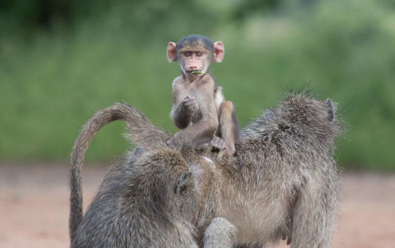 Portrait of infant sitting on chacma baboon at kruger national park