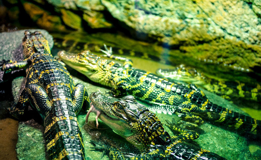 Bergen Green Norway Animal Animal Themes Close-up Crocodile Crocodiles Day No People Reptile Water Zoology