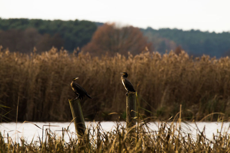 Cormorants Perching On Wooden Posts At Riverbank