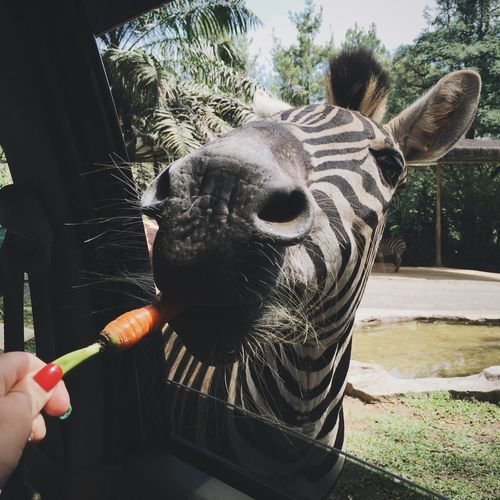 Safari Animals Animals Nature Photography Wildlife Zoo Feeding  Zebra