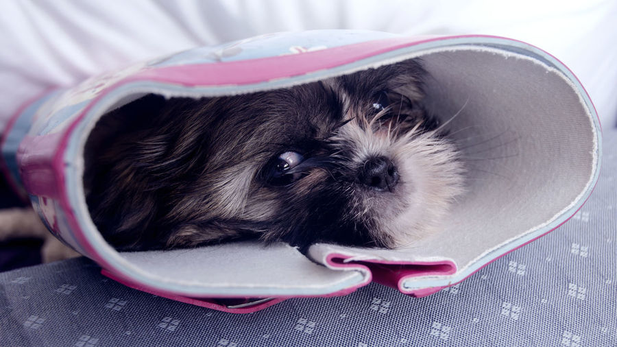 Portrait Of Shih Tzu In Boot At Home