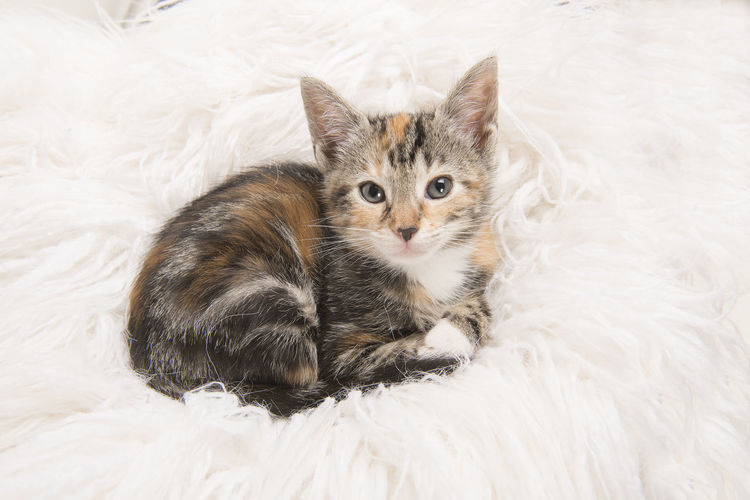 Cute tortoiseshell baby cat lying down and looking up on a white fur blanket
