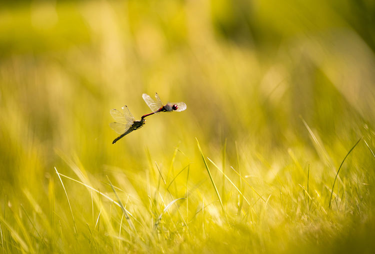 dragonflies mate in flight Animal Themes Animal Wildlife Animals In The Wild Backgrounds Beuty Of Nature Dragonfly Dragonfly Mating Dragonfly_of_the_day EyeEmNewHere Grass Growth Insects Collection Mate Nature Nature Of Latvia Nature_collection No People Outdoors Summer Meadow Summer Memories The Great Outdoors - 2017 EyeEm Awards