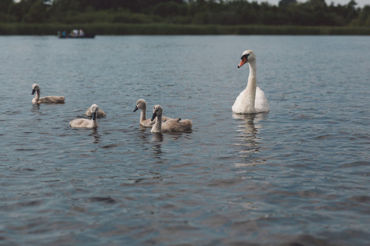 Animal Animal Family Animal Themes Animal Wildlife Animals In The Wild Beauty In Nature Bird Cygnet Day Floating On Water Flock Of Birds Group Of Animals Lake Nature No People Outdoors Rippled Swan Swimming Vertebrate Water Water Bird Waterfront Young Animal