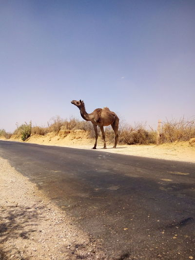 Horse standing on desert road against clear sky