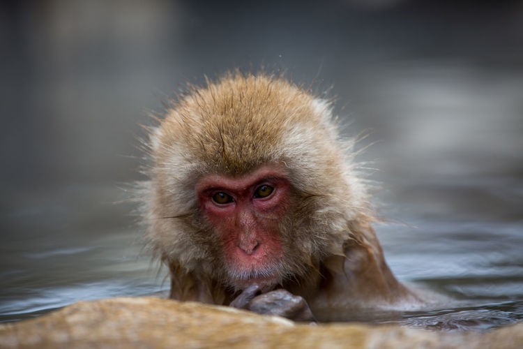 Animal Animal Hair Animal Head  Animal Themes Animal Wildlife Animals In The Wild Cold Temperature Day Focus On Foreground Hair Hot Spring Japanese Macaque Looking At Camera Mammal Monkey No People One Animal Portrait Primate Vertebrate Water
