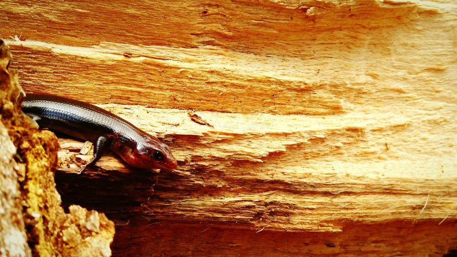 Lizard Nature