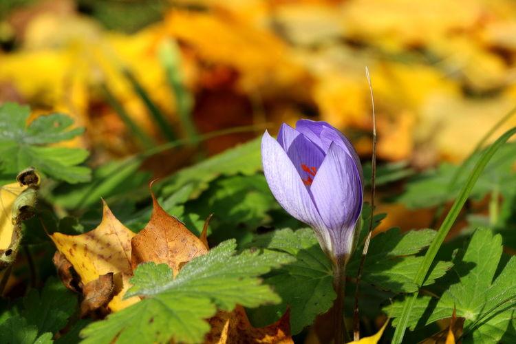 Herbstzeitlose Herbstspaziergang Close-up Freshness Flower Growth Purple Outdoors No People Flower Head Day