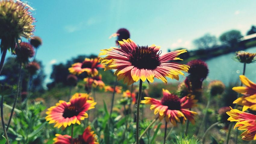 Flower Fragility Nature Freshness Beauty In Nature Growth Plant EyeEmNewHere The Week Of Eyeem Beauty In Nature Millennial Pink Pollen Coneflower Petal Close-up Outdoors Sky No People